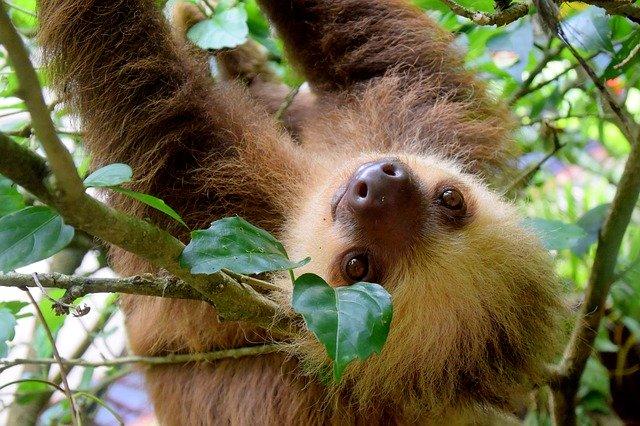 costa-rica-sloth